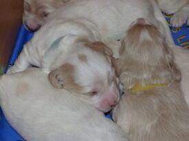 Poochon X sprocker puppies