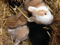 Beautiful Baby Bunnies looking for forever homes (Ready in 6 wks)