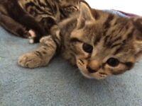 Healthy Bengal X kittens