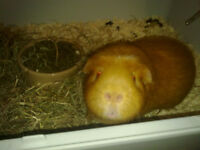 Guinea Pig for sale to good home