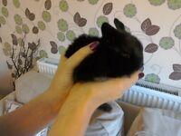Mini lop / dwarf lop bunnies for sale
