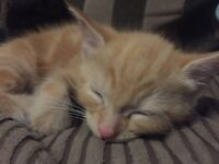 3 ginger and 2 black kittens for sale