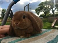 Adorable mini lop boy ready now