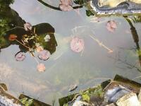 Pond Lillys