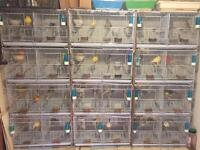 Canary birds and set up for sale