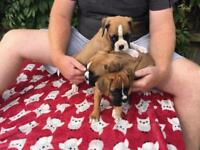 Boxer pups (female)