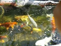 Koi fish for sale £190 each