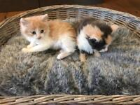 8 week old kittens (male and female)