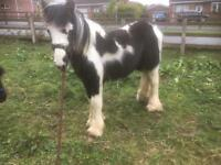 Pony for sale
