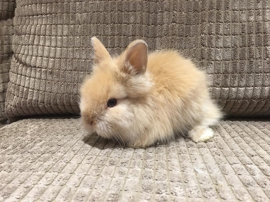 male baby lionhead rabbit available in prestbury gloucestershire gumtree. Black Bedroom Furniture Sets. Home Design Ideas