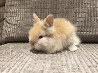 Male Baby Lionhead Rabbit available!