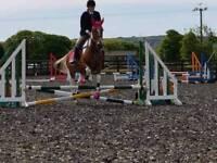 Irish sports horse 15.1 hh