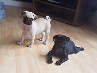 Pug puppies for sale kc registered