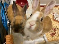 2 Male Netherland Dwarf Rabbits