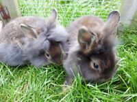 Baby lionhead rabbits 11wks old ready now. 2 boys remaining. Handled well since birth.