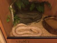 Vivarium with 2 beautiful corn snakes