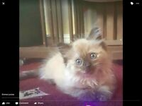 very rare heath mink female ragdoll looking for her forever home