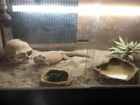 18 month old bearded dragon &1000 morio mealworms with full equipment