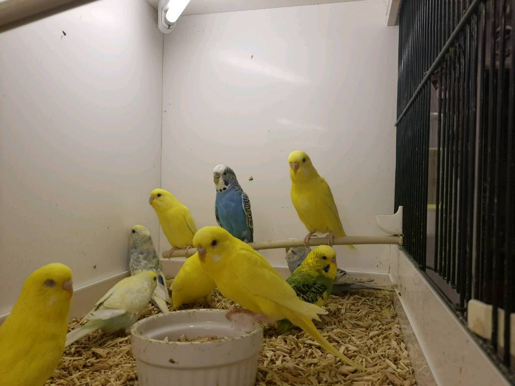Budgies from £18.00