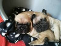 French bulldog girl puppies
