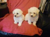 LOVELY BISHON FRISE PUPPYS