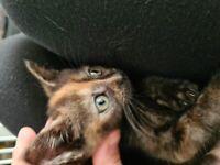 Beautiful 8 week old kitten
