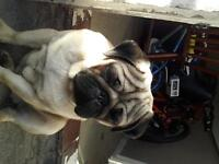 Male Pug 7 month's old