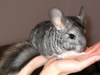 Established pair of Chinchillas with 2 large cages and all accessories, Can deliver for fuel
