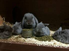 Baby mini lop rabbits for sale