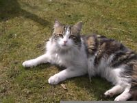 missing cat semi long haired ,chipped