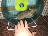 DEGUS!! Hamster, Rat, Pet,