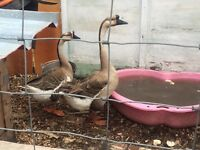 5 geese for sale