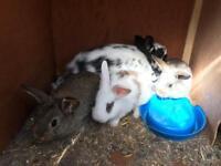 Mini Lop X Chinchilla bunnies