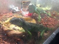 1 GREEN IGUANA FOR SALE - 2nd one sold