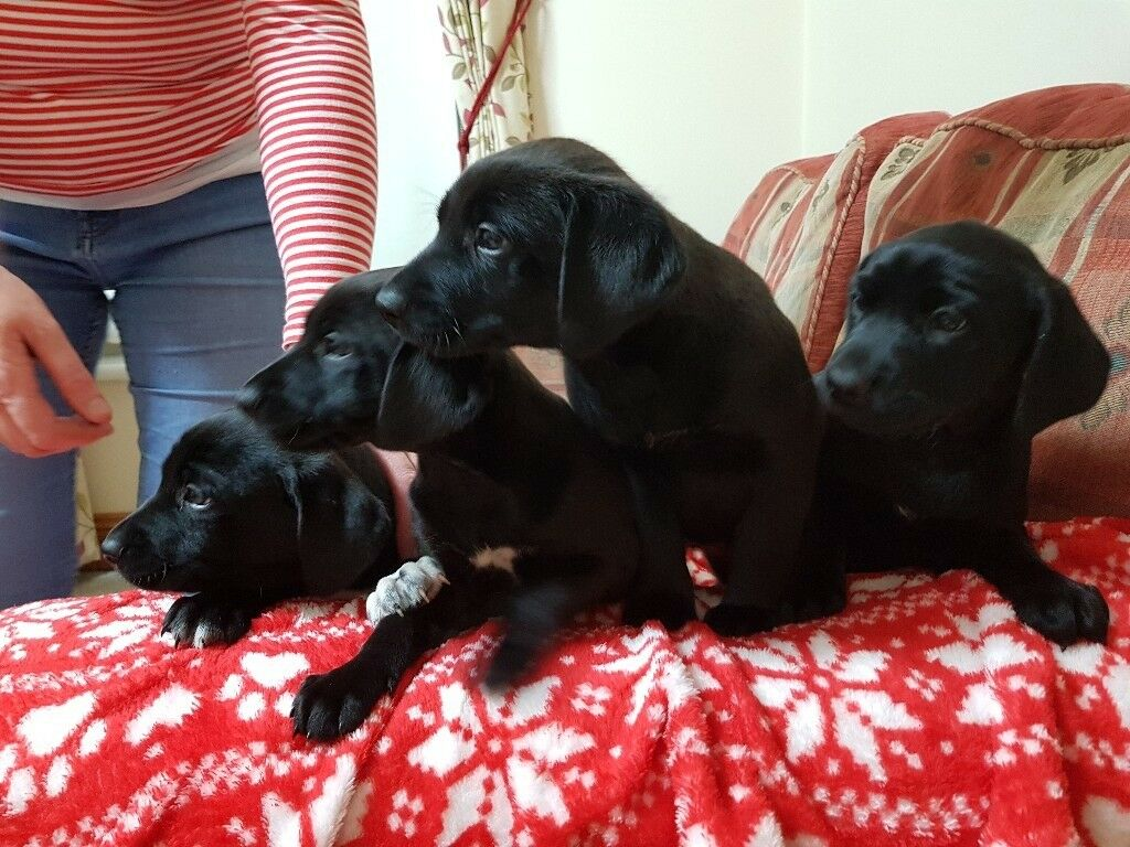 labmaraner puppies for sale | in Dungannon, County Tyrone | Gumtree