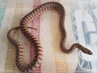 Woma pythons