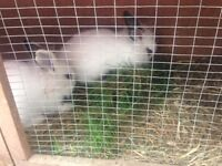 2 beautiful white bunny rabbits INCLUDING hutch and rabbit pen