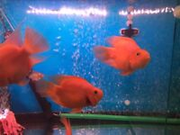 Big Red parrots fish , ,2 x 6in 1 x 4in £50 all three