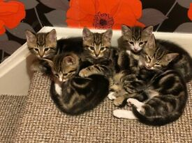 5 confident & robust kitten's for sale.