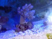 RARE GREEN CARNATION TREE CORAL (NEOSPONDGODES SP)