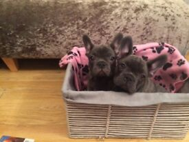 KC Blue & Lilac French Bulldog puppies