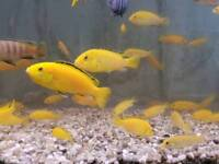 5/6cm Cichlids Yellow Labs/Acei and 7cm Saulosi
