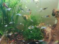 Guppies 15 for £10