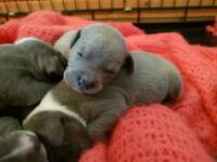 Blue and white staff pups