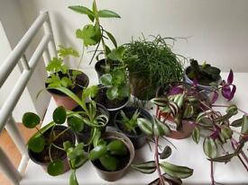 Job lot 10 mixed house plants, succulents, geranium, zebrina, spider, jade, rubber, pilea