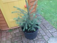 CHRISTMAS TREE HAS BEEN GROWING IN POT FOR 2 YEARS