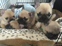 Stunning fawn French Bulldog pups