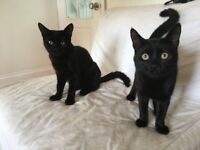 Two Adorable Black Bombay Kittens For Sale