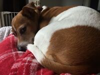 Rehoming two gorgeous Jack Russell's for FREE