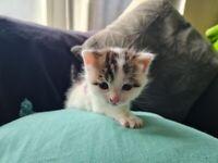 Adorable white/tabby kitten boy £300
